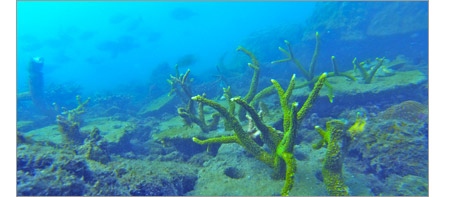 Small private Coral found growing in Thailand as a rsult of The Coral Alive program
