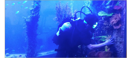 A SCUBA diver carefully repositions coral inside a very large marine aquarium.